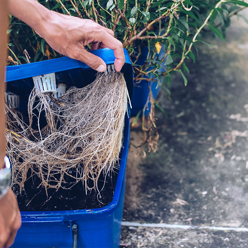 Treat Root Rot in Hydroponics System
