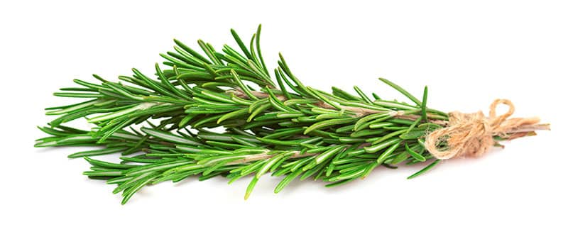 Best Hydroponic Herbs Rosemary