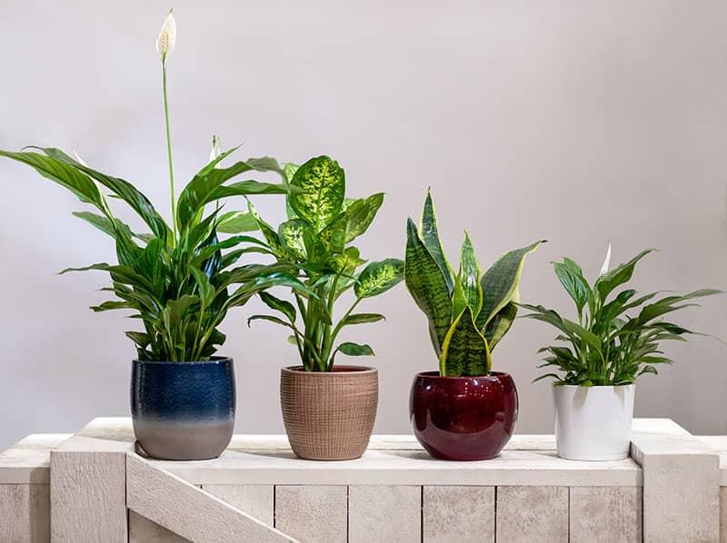 Dieffenbachia Top 10 Hydroponic House Plants