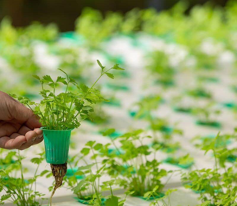 Top 10 Hydroponic Herbs