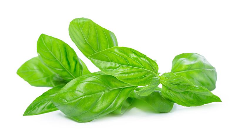 basil herb leaves hydroponic