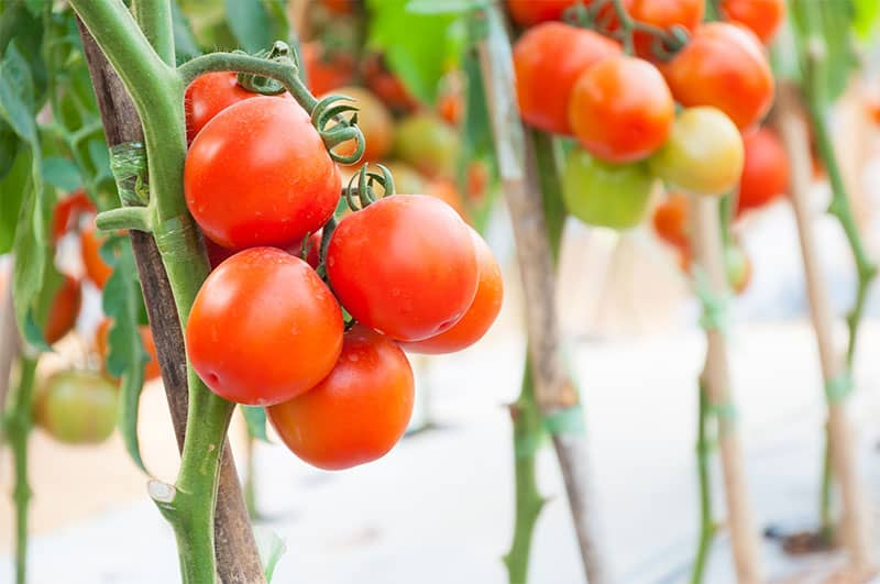 cherry tomatoes hydroponic garden