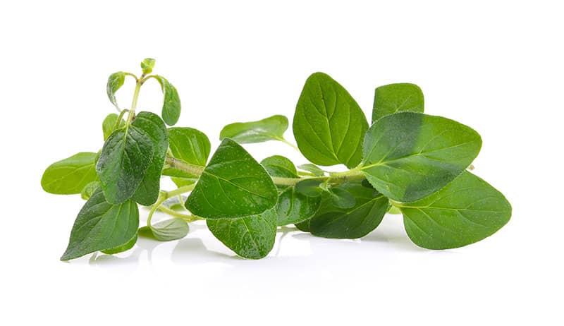 10 Best Hydroponic Herbs origano