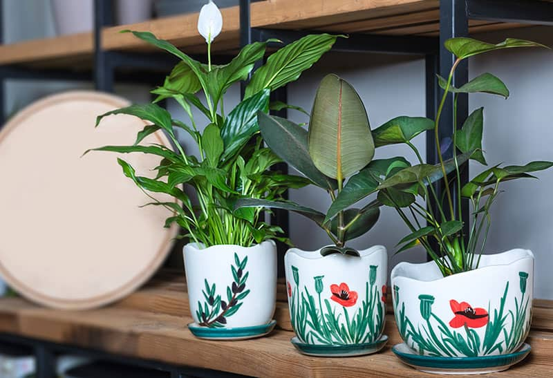 peace lily hydroponic