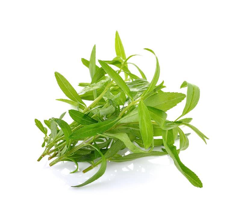 tarragon herbs grown with hydroponics