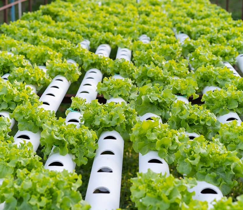 Advantages of Hydroponic Vegetables