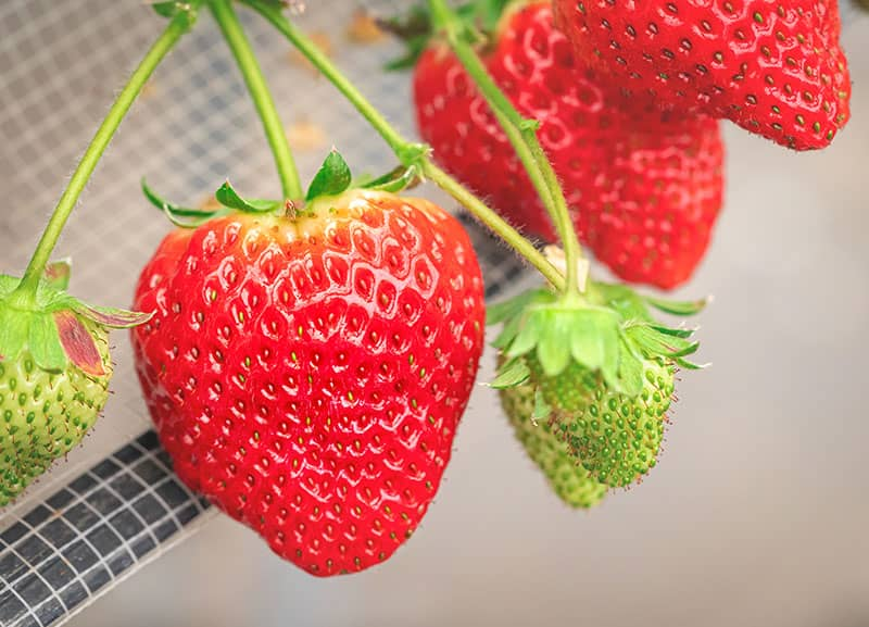 Grow Hydroponic Strawberries